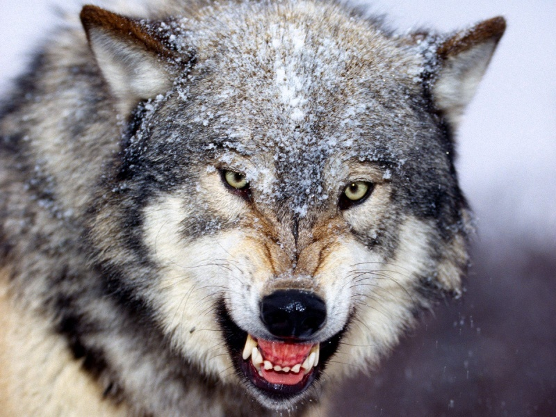 wolf wallpaper. Angry wolf